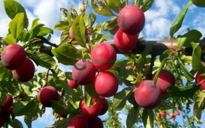 Health benefits of plum: 10 reasons to eat more plums